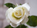 2nd - Rose Hybrid Tea (any)