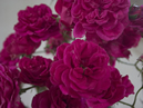 2nd - Rose Floribunday Spray (any)