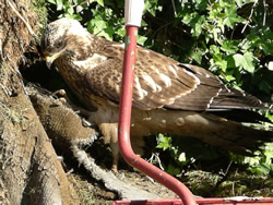 Honey Buzzard digging for wasp larvae in garden compost heap ...