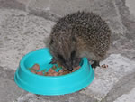 Hedgehog feeding on cat food