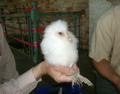 Owl chick