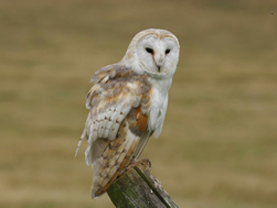 To find out about BTO Barn Owl surveys - click here