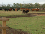 Some cattle